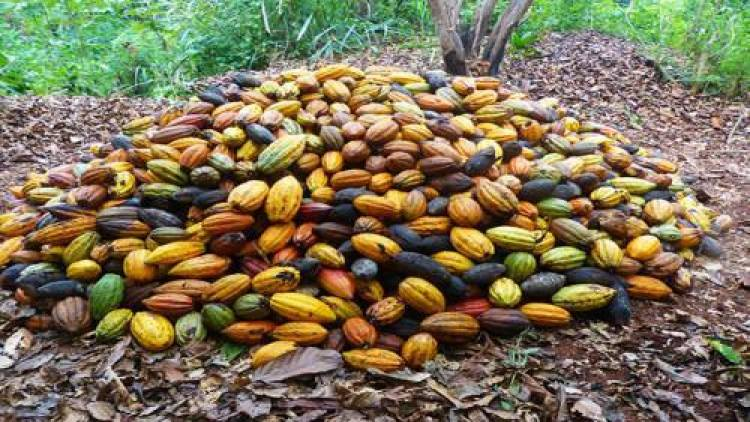 Cameroon's cocoa exports drop by 10% due to the Southern Cameroons Crisis
